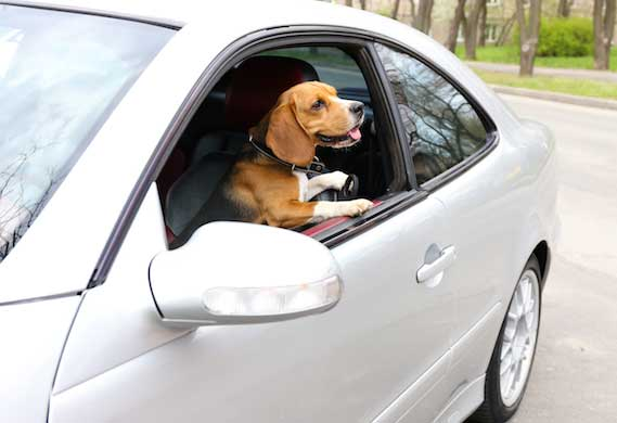 dog in car 303767270 0