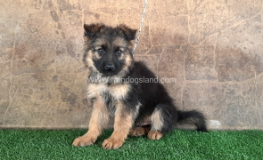 ---german-shepherd-30_2