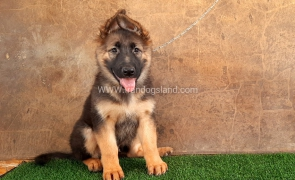 ---german-shepherd-32_11