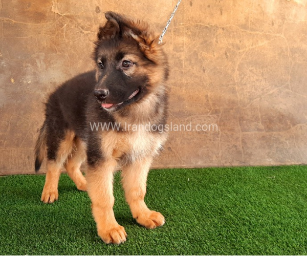 ---german-shepherd-33_12
