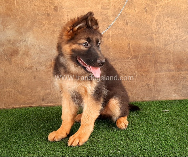 ---german-shepherd-33_2