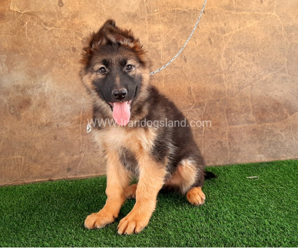 ---german-shepherd-33_3